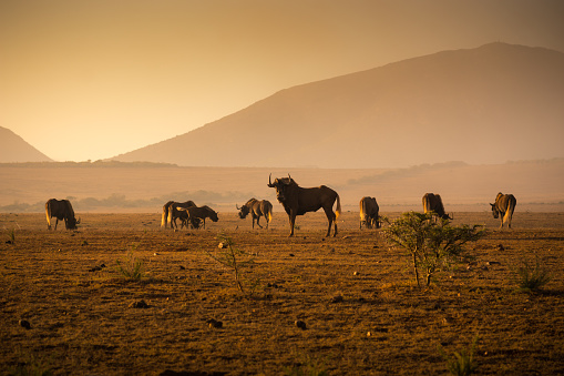 Eating「Herd of Wilderbeest grazing in the African savannah」:スマホ壁紙(13)