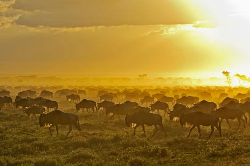 Antelope「Herd of wildebeest at sunrise」:スマホ壁紙(8)