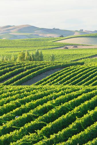 Rolling Landscape「Vineyard Landscape」:スマホ壁紙(0)