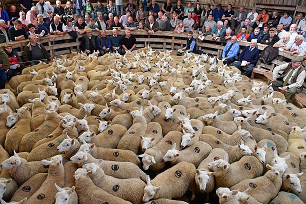 The Lairg Livestock Lamb Sale:ニュース(壁紙.com)