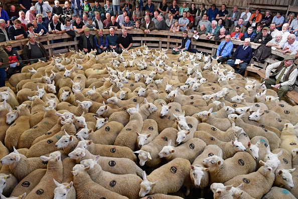 Bestpix「The Lairg Livestock Lamb Sale」:写真・画像(10)[壁紙.com]