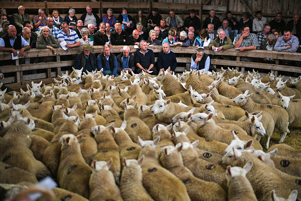 animal「Tens Of Thousands Of Lambs Are Sold On A Hillside Near Lairg In Scotland」:写真・画像(9)[壁紙.com]