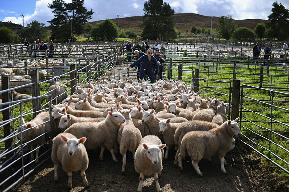 animal「Tens Of Thousands Of Lambs Are Sold On A Hillside Near Lairg In Scotland」:写真・画像(11)[壁紙.com]
