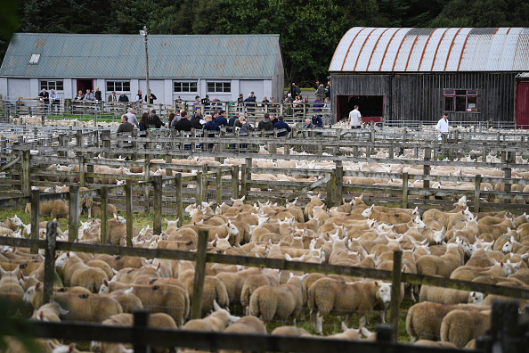 animal「Tens Of Thousands Of Lambs Are Sold On A Hillside Near Lairg In Scotland」:写真・画像(12)[壁紙.com]