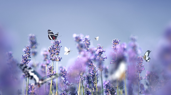 French Lavender「Lavender With Butterflies」:スマホ壁紙(5)