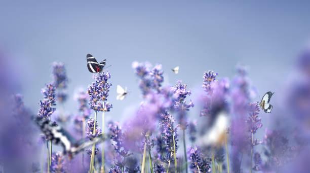 Lavender With Butterflies:スマホ壁紙(壁紙.com)