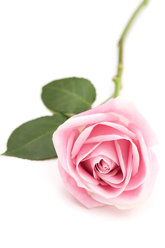 Single Object「A baby pink long stem rose isolated on white」:スマホ壁紙(10)