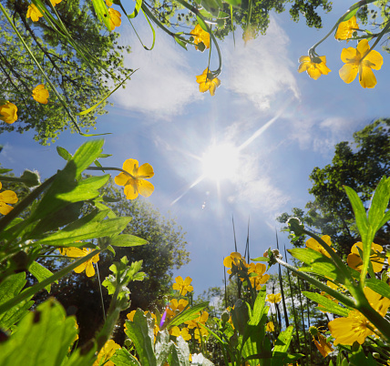 Horticulture「View up through grass and buttercups to blue sky」:スマホ壁紙(19)