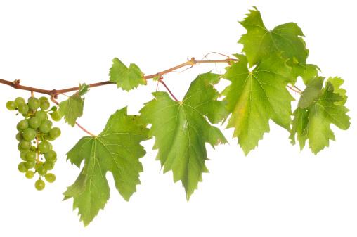 Branch - Plant Part「Isolated wine」:スマホ壁紙(8)