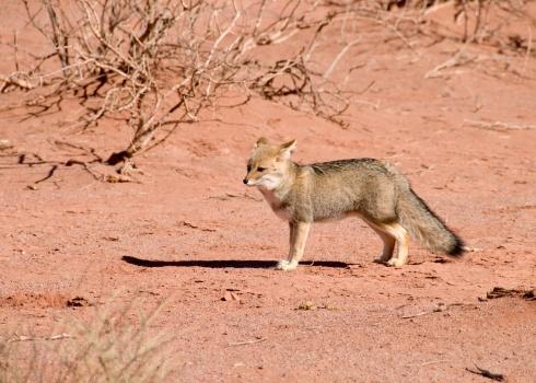 Fox「desert fox in talampaya national park」:スマホ壁紙(18)