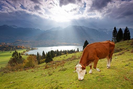 Julian Alps「alpine cow」:スマホ壁紙(15)