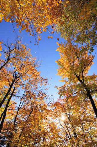 サトウカエデ「View Of Sugar Maple Trees In Fall, Bas-Saint-Laurent Region, Quebec.」:スマホ壁紙(7)