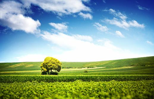 Soybean「Lone tree in crops area.」:スマホ壁紙(19)