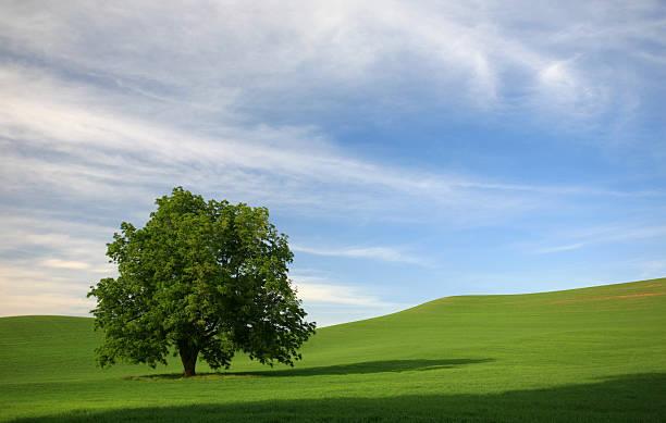 Lone Tree in a Rolling Green Field:スマホ壁紙(壁紙.com)