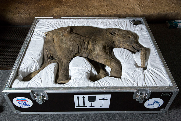 Archaeology「World's Most Complete Mammoth On Display At The Natural History Museum」:写真・画像(14)[壁紙.com]