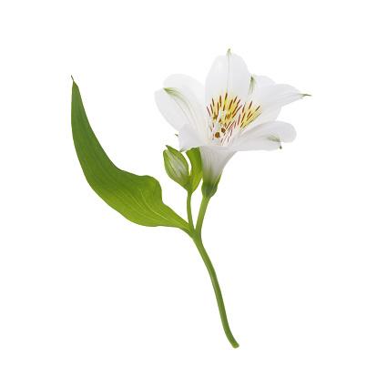 Alstroemeria「Lovely white Alstroemeria flower in white square.」:スマホ壁紙(2)