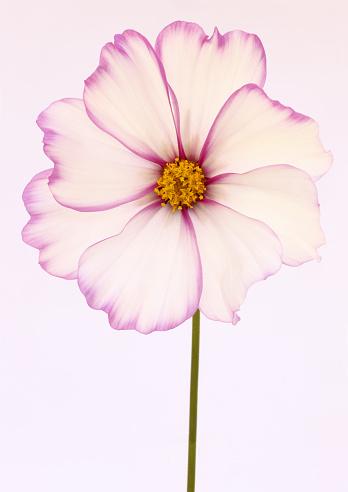 コスモス「Lovely white cosmos flower, pinked edged petals」:スマホ壁紙(3)