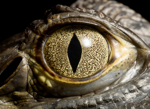 Crocodile「Caiman Crocodile's eye, close up」:スマホ壁紙(5)
