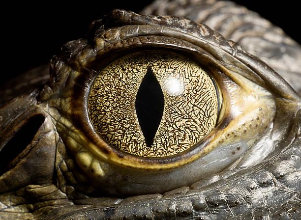 Caiman Crocodile's eye, close up:スマホ壁紙(壁紙.com)