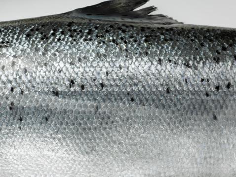自生「Fresh Salmon.」:スマホ壁紙(15)