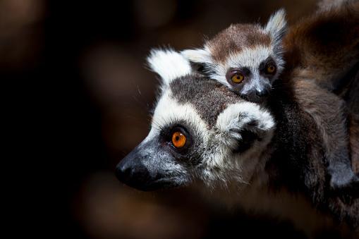 Princess「Female lemur carrying her pup on her back, South Africa」:スマホ壁紙(15)