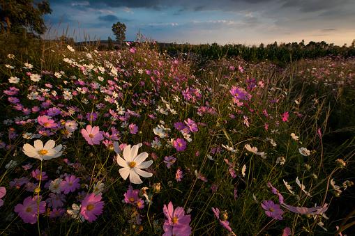 コスモス「Cosmos wildflowers (Bidens formosa) at sunset in a farm field in Magaliesburg, Gauteng Province, South Africa」:スマホ壁紙(2)