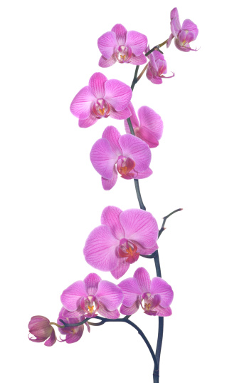 Orchid「pink orchid composition」:スマホ壁紙(18)