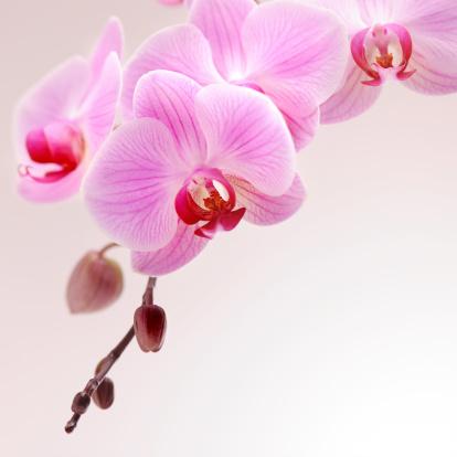 Stamen「Pink Orchid」:スマホ壁紙(7)