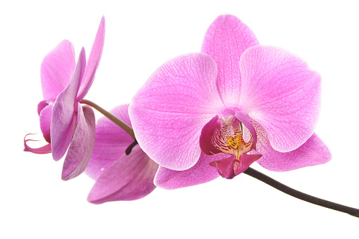 Floral Pattern「Pink orchid flowers isolated on white」:スマホ壁紙(4)