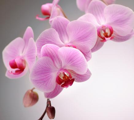 Pistil「Pink Orchid」:スマホ壁紙(16)