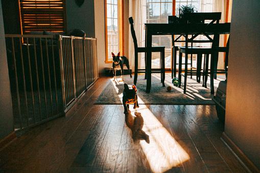 Animal Themes「Wide angle shot of Boston terrier and French Bulldog running down hallway」:スマホ壁紙(4)