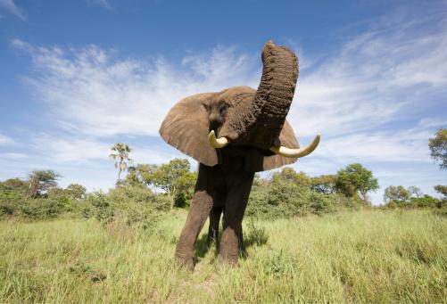 Botswana「Wide Angle Elephant」:スマホ壁紙(15)