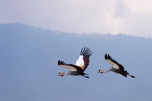 Ngorongoro Crater「Grey Crowned Cranes in flight, african bird, endangered specie」:スマホ壁紙(7)