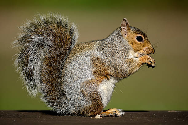 Eating Grey Squirrel:スマホ壁紙(壁紙.com)