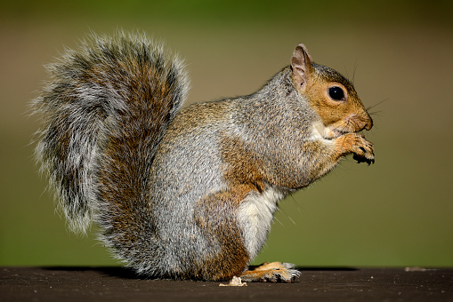 Gray Squirrel「Eating Grey Squirrel」:スマホ壁紙(1)