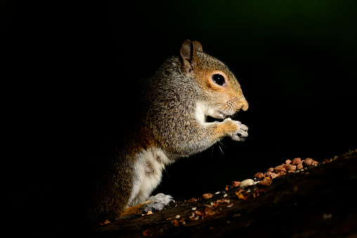 リス「Eating Grey Squirrel in front of black background」:スマホ壁紙(3)