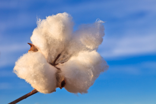 Gulf Coast States「Cotton boll with sky in background」:スマホ壁紙(10)