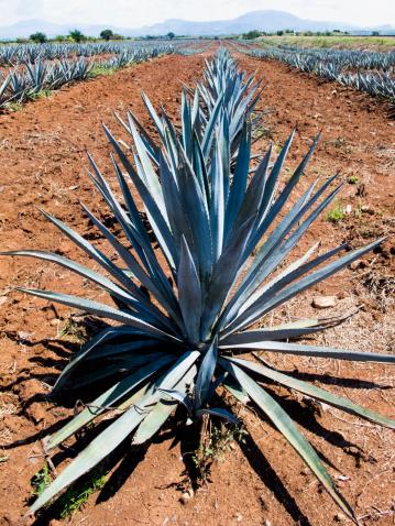 Sayulita「Blue plant growing in crop field」:スマホ壁紙(7)