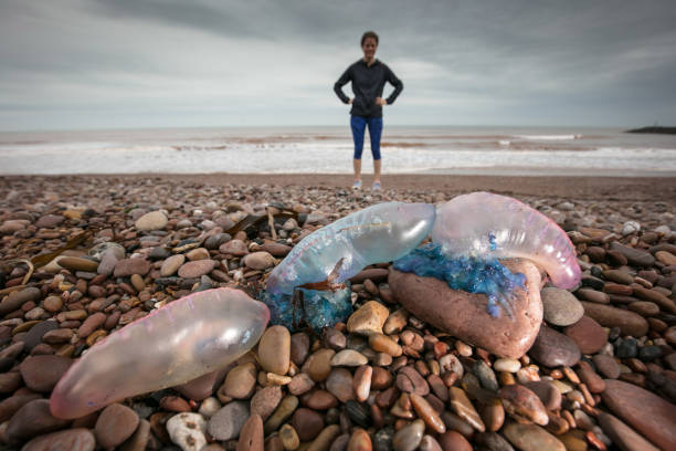 Storm Ophelia Washes Up Portuguese Man o' War Jellyfish On The Shore At Sidmouth:ニュース(壁紙.com)