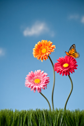 Planting「Three Gerbera Daisies And A Butterfly」:スマホ壁紙(2)