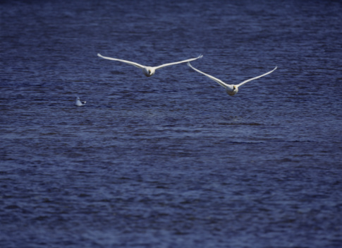 Approaching「Pair of whooper swans in flight over lake」:スマホ壁紙(5)