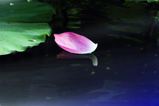名画「Lotus petal」:スマホ壁紙(14)