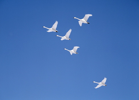 Flying「Swan flying in sunny sky, blue background, Hokkaido prefecture, Japan」:スマホ壁紙(16)