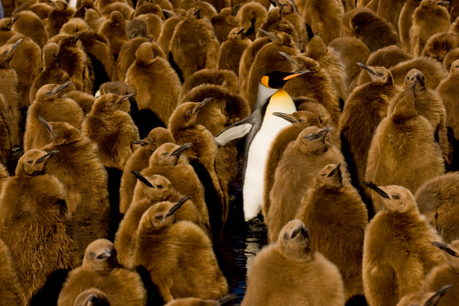 Atlantic Islands「One adult King Penguin (Aptenodytes patagonicus) amongst colony of chicks. Gold Harbor, South Georgia Island, Southern Atlantic Islands, Antarctica」:スマホ壁紙(8)
