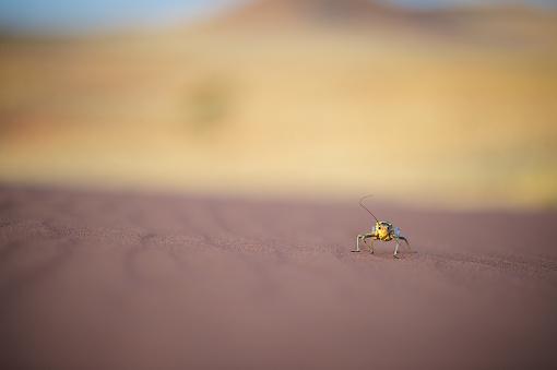 Namibian Desert「Corn Cricket walking on desert sand」:スマホ壁紙(5)