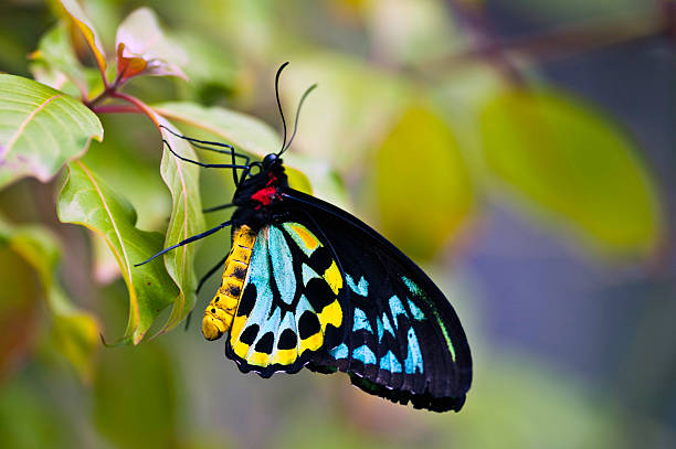 colorful birdwing butterfly (Ornithoptera priamus):スマホ壁紙(壁紙.com)
