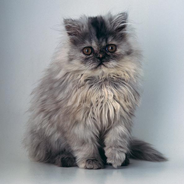 Purebred Cat「Blue Persian」:写真・画像(9)[壁紙.com]