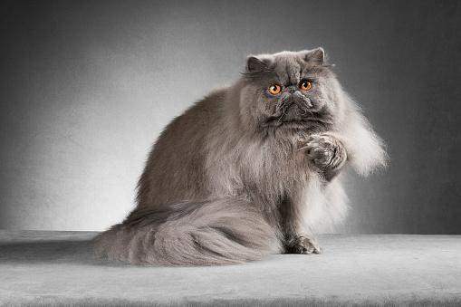 ふわふわ「ブルーのペルシャ猫のリフティング paw」:スマホ壁紙(10)