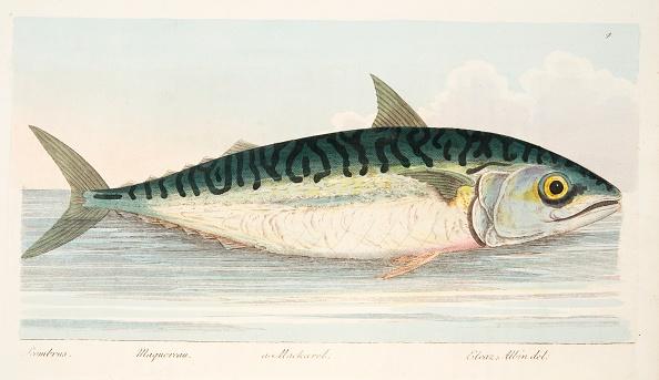 Animal Body Part「The Mackerel」:写真・画像(8)[壁紙.com]