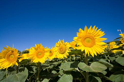 ひまわり「Sunflowers, Hokkaido Prefecture, Japan」:スマホ壁紙(2)